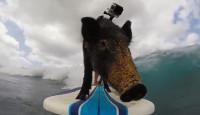 GoPro: Свинья на волнах!