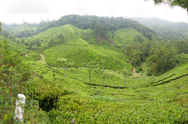 Munnar Tea Fields
