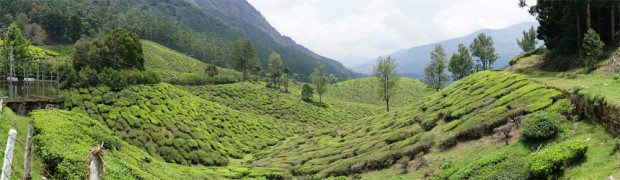 Munnar Tea Fields2
