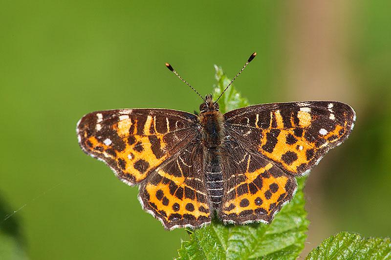Miks liblikate pildistamine vajab isegi lauspäikesega kõrget ISO?