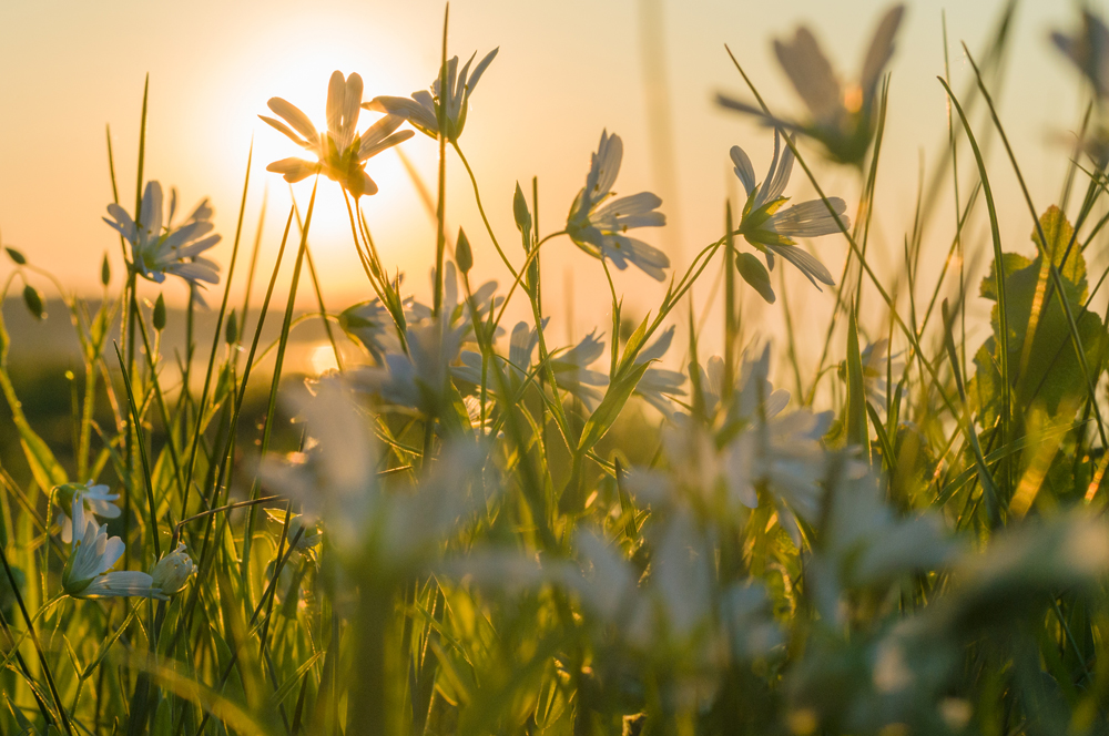 Greater Stitchwort (Stellaria holostea) flowers background at sunset