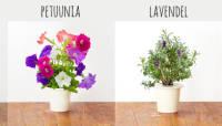 Nüüd saad Click & Grow nutikas ürdiaias kasvatada ka Mururoosi, Petuuniat, Lavendlit ja Mimoosi